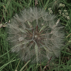 Seedhead (1)